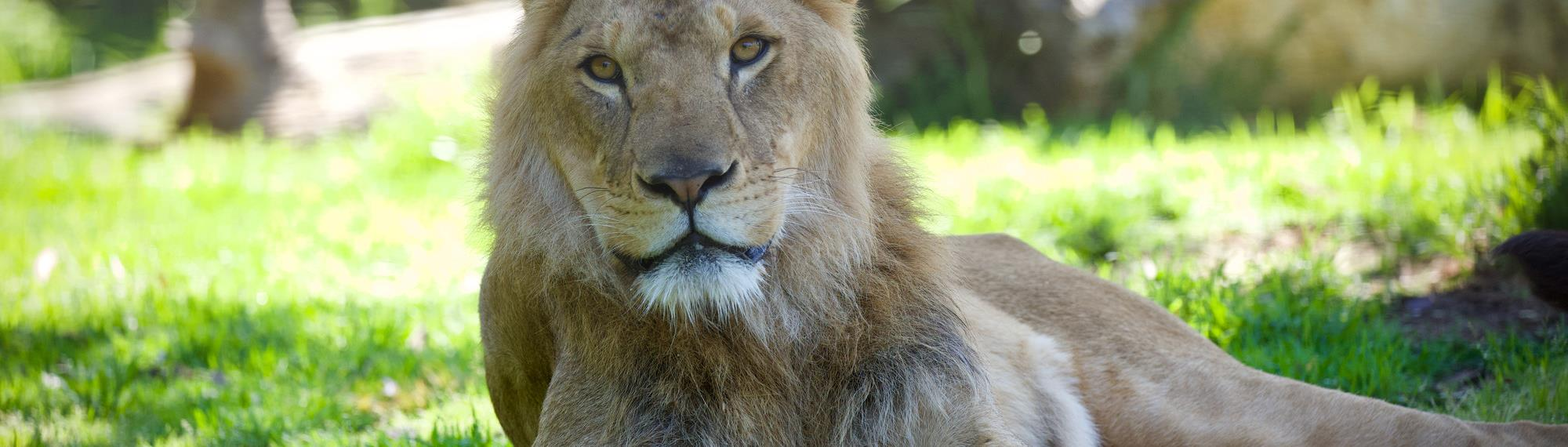 Zuberi the lion laying on the grass in the shade.