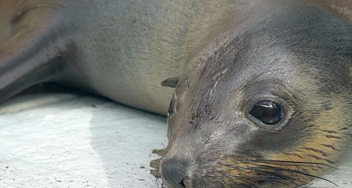 Bella the rescued Australian Fur Seal resting by the water.