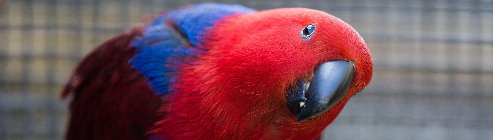 Female Eclectus parrot with head on side. She has a bright red coloured head, blue shoulders and deep red wings.