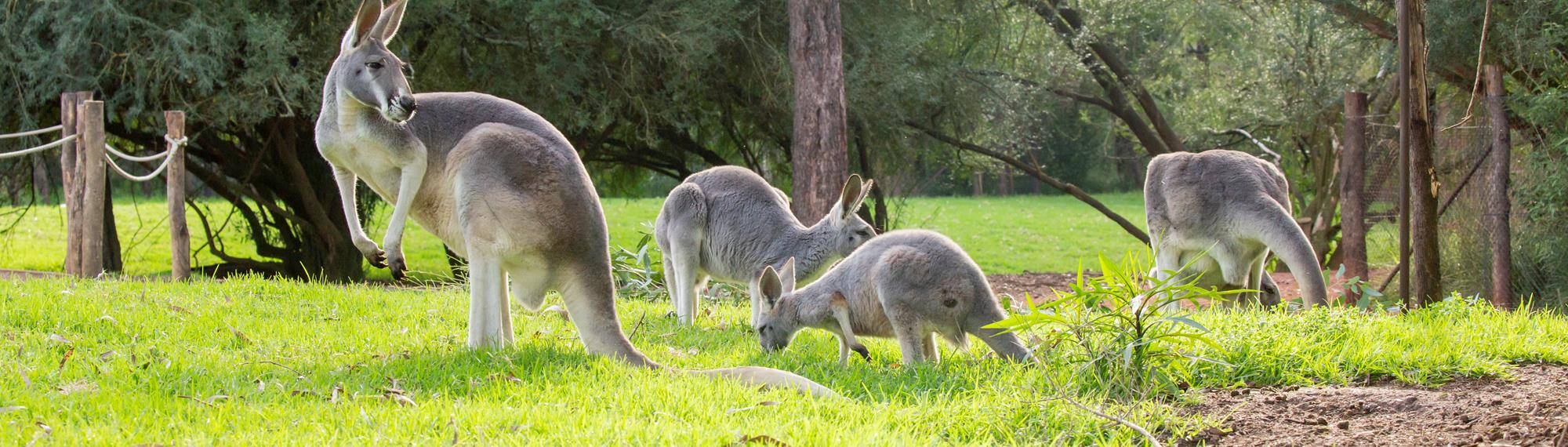 Four red kangaroos grazing on the green grass at Healesville Sanctuary.