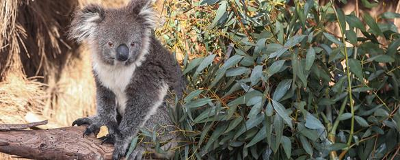 Koala sitting a a branch gazing towards the camera with its back partially covered in eucalyptus leaves.