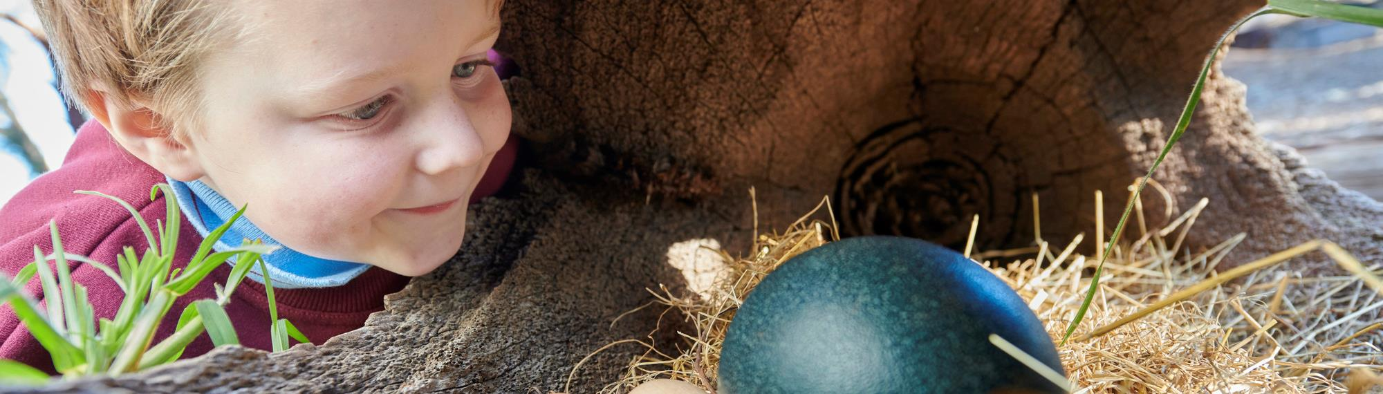 Small child looking into a hollow log with a nest. Inside the nest are three small pale eggs and a large green emu egg.