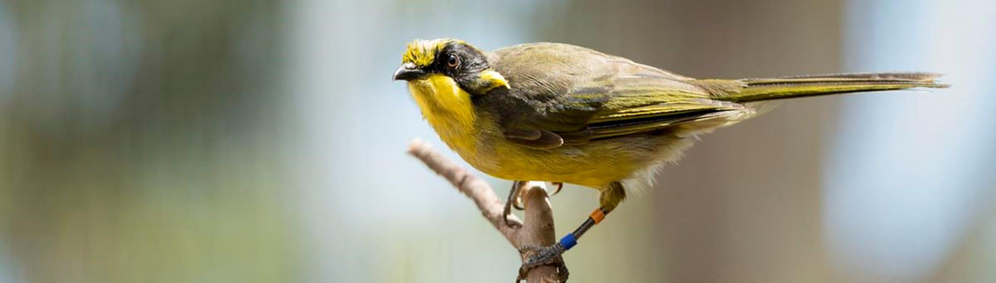 Juvenile Helmeted Honeyeater standing on a tree branch. Its a striking yellow colour with black and olive.