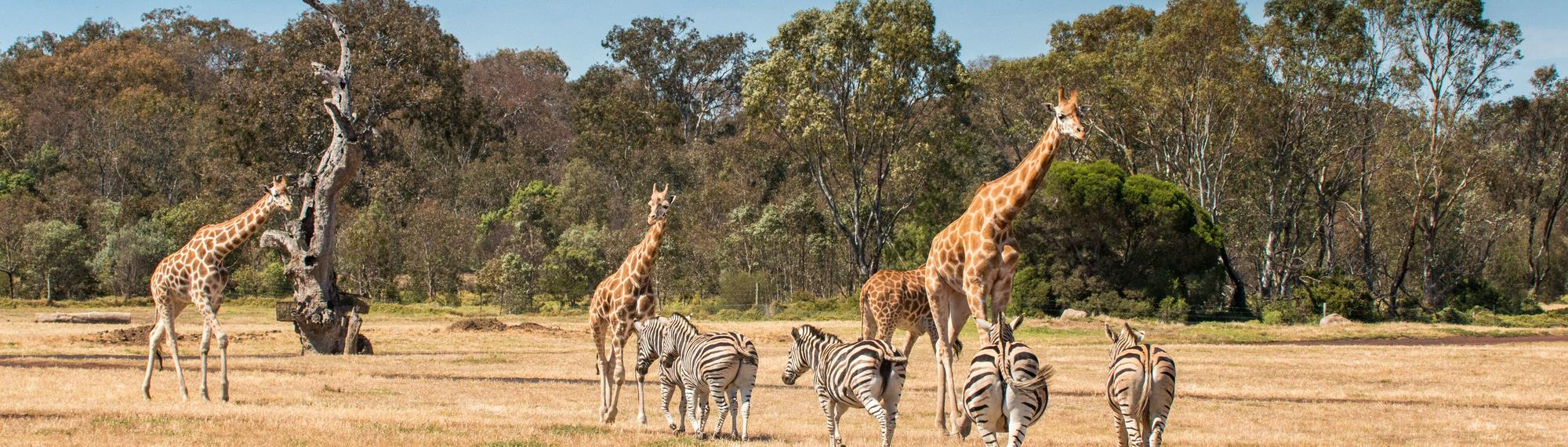 A group of five zebras and four giraffes on the open Savannah at Werribee Open Range Zoo.