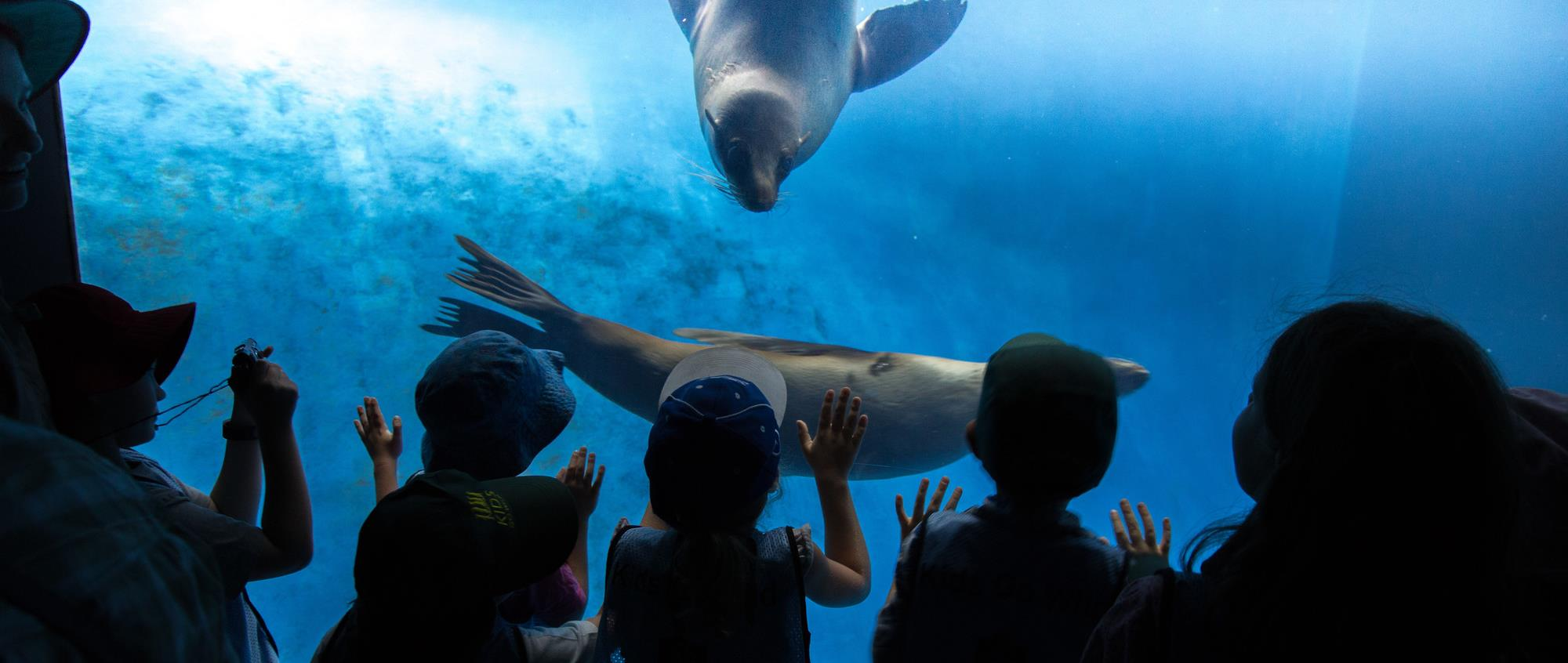 The silhouettes of small children looking into the seal exhibit at Melbourne Zoo as two seals swim by