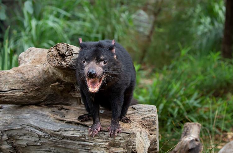 Tasmanian Devil standing on a log with its mouth open showing its sharp teeth. Green bushy terrain in the background.