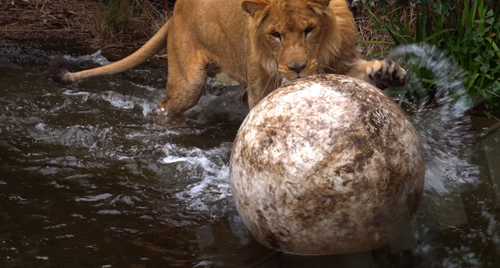 Lion splashing in the water while playing and batting at a large ball with its paw.