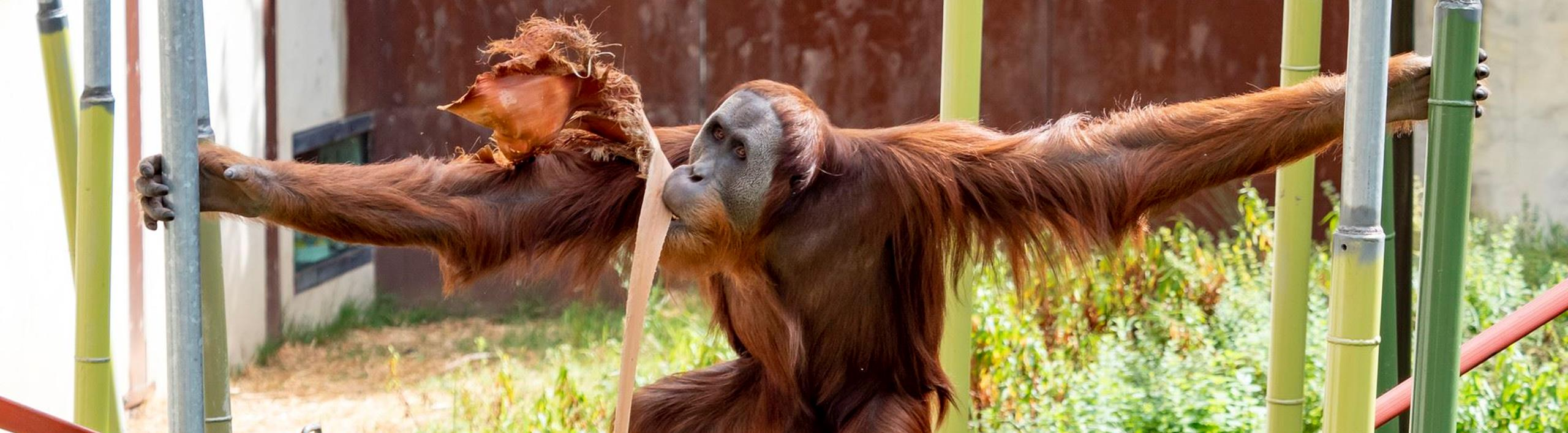 Orang-utan swinging between poles while holding a palm fond in its mouth.