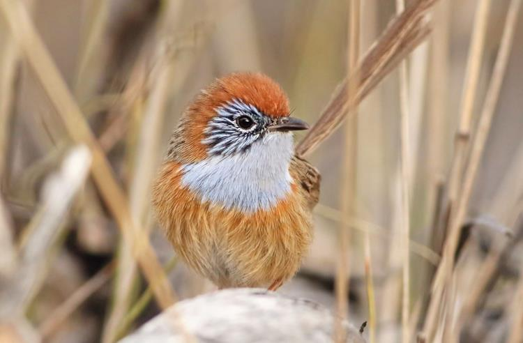 Mallee Emu-wren in long dry grass looking at the camera. It has a bright orange head, white chest and a pale orange body.