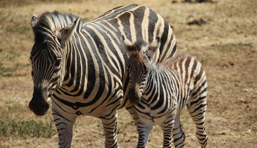 Small zebra foal standing next to its mother on the Savannah. They are looking forward just to the left of the camera with their ears tilted back.