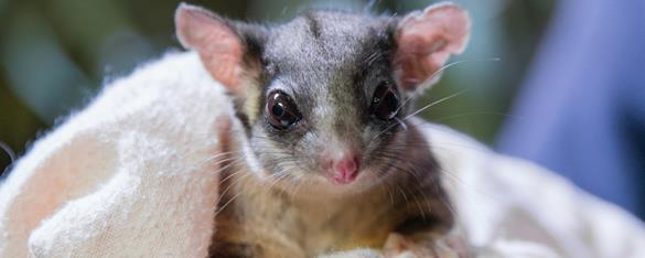 Close up view of the face of a Leadbeater Possum wrapped in a white blanket. Big eyes and fine facial details can be seen as it looks directly at the camera.