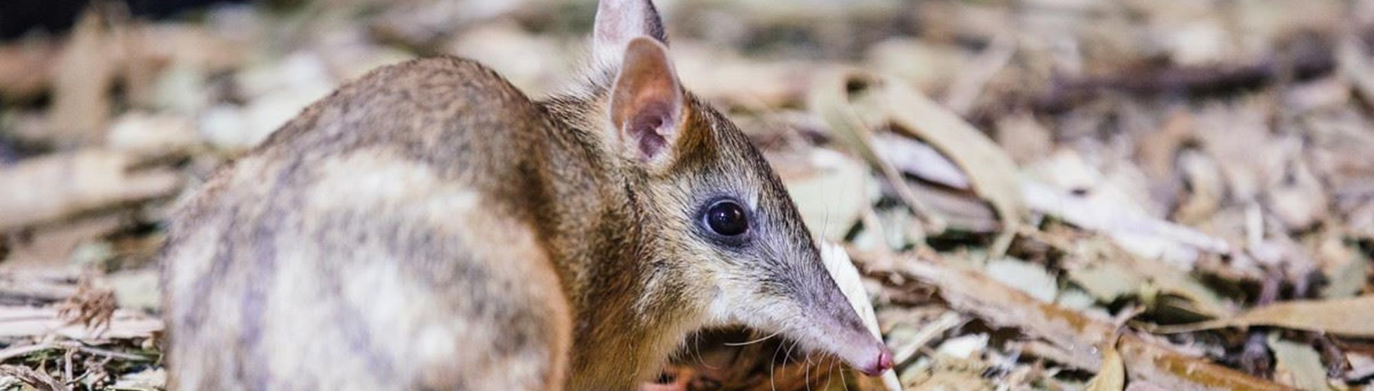 Eastern Barred Bandicoot looking at the camera while standing in some leaf litter.