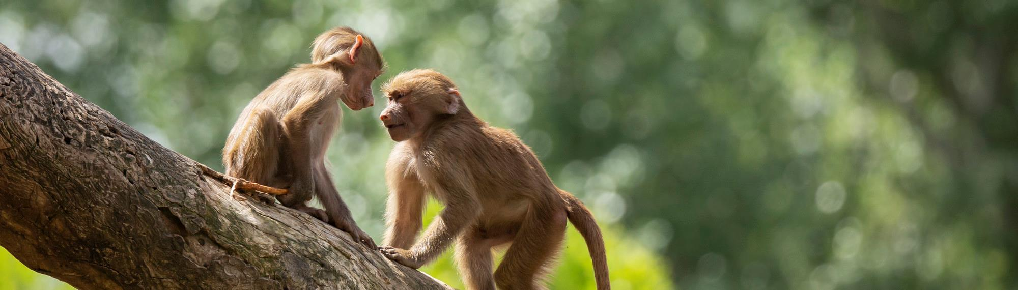Two young Baboons playing together on a tree branch.