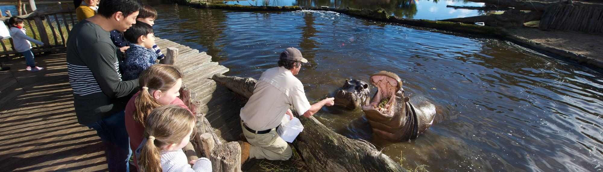 Keeper checking hippos teeth in river