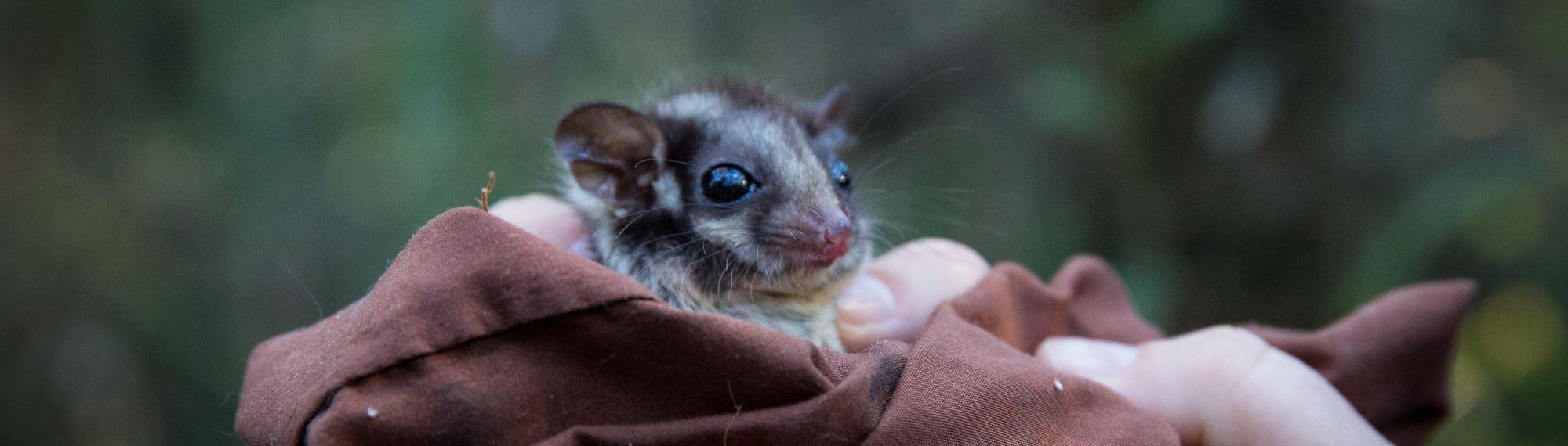 Close up view of the face of a Leadbeater Possum wrapped in blanket. Big eyes and fine facial details can be seen as it looks to the right of the camera.