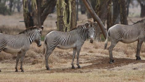Five Grevy's Zebras standing in a long line.