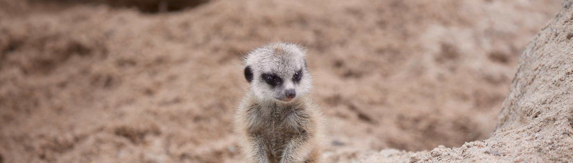 Super cute baby meerkat standing in the sand on its hind legs. Baby meerkat is light brown with black patches around eyes and ears and is looking down.