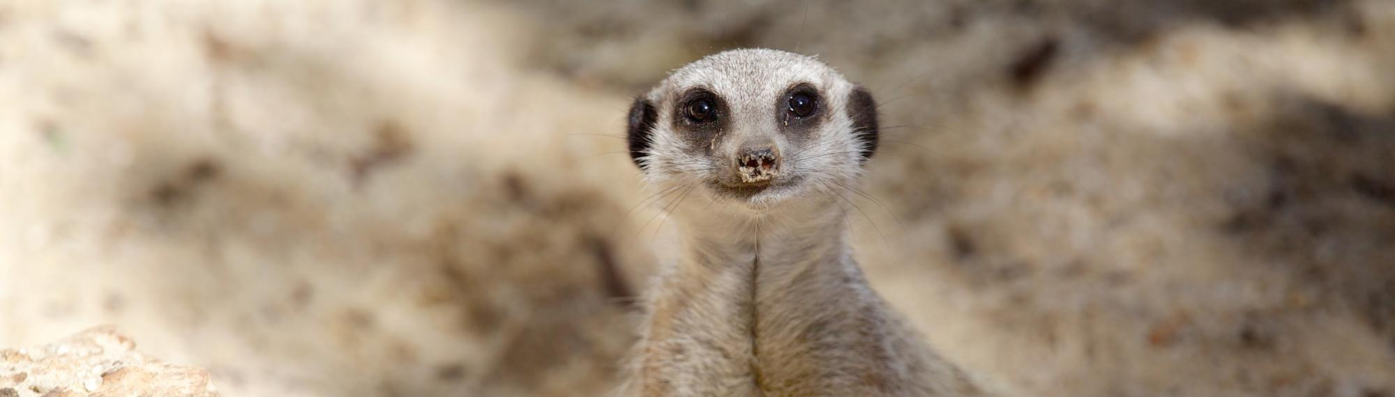 Meerkat looking at camera with sandy background