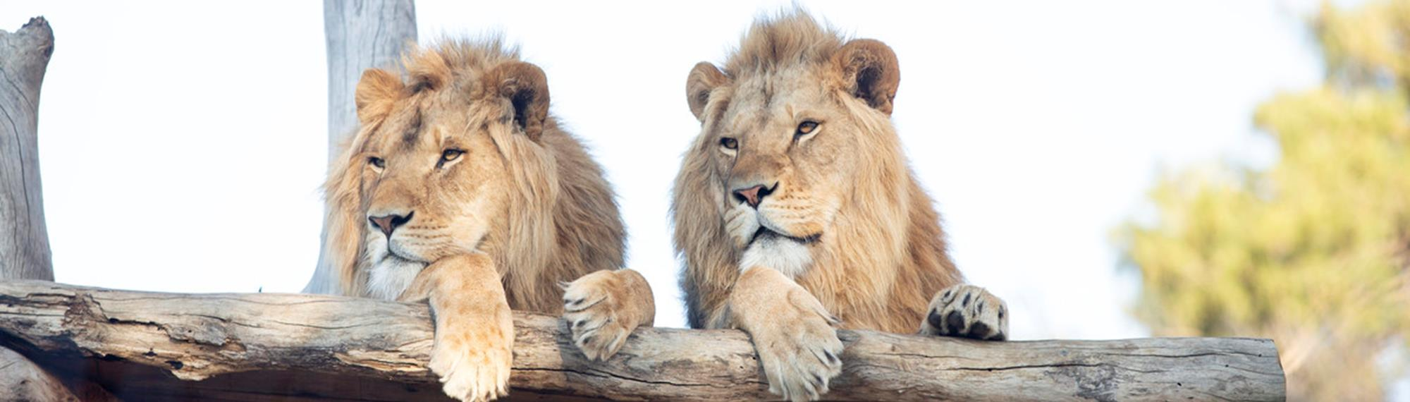 Two male Lions relaxing side by side, on a sunny platform, looking into the distance.