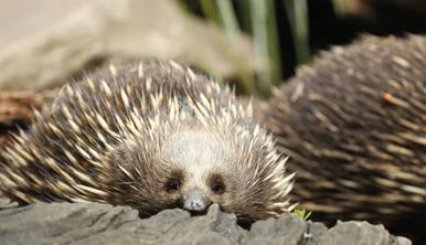 An echidna lying on the ground, peaking over a log, looking towards the camera. It has perched its nose on a log.