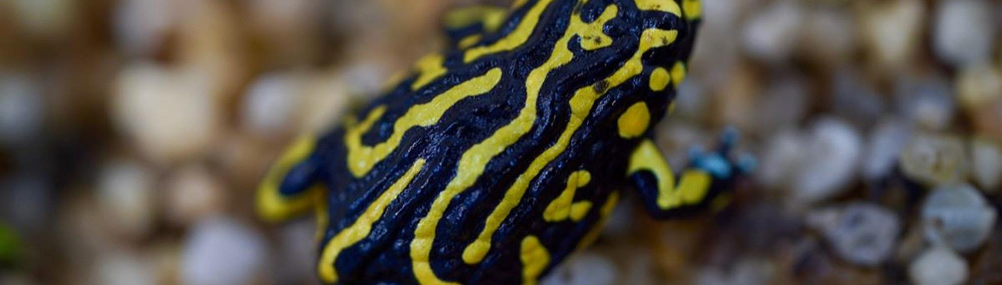 Northern Corroboree Frog with its vivid yellow and black stripes sitting on wet pebbles.