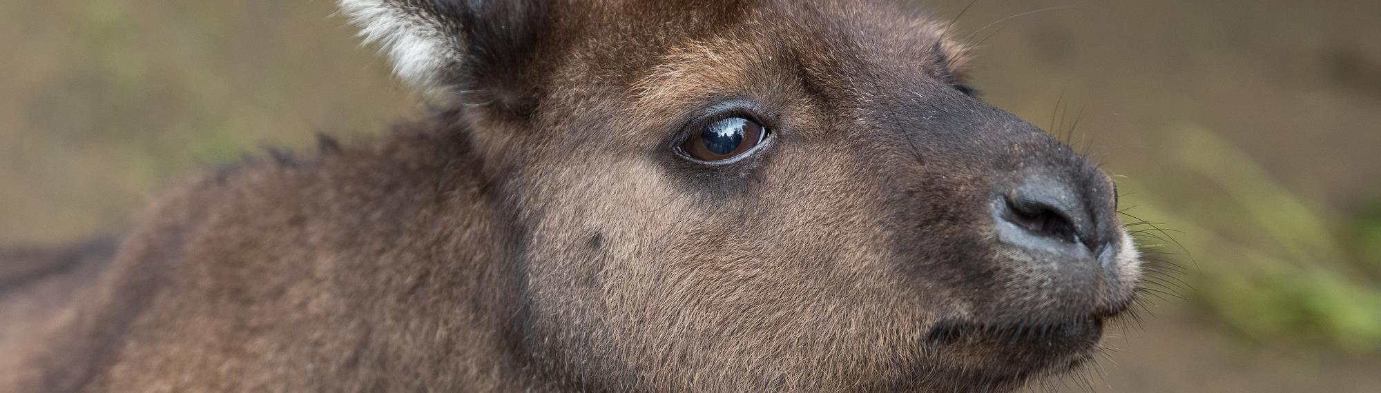 A close-up portrait of a Kangaroo Island Kangaroo. Detailed side view of fur up close and right eye.