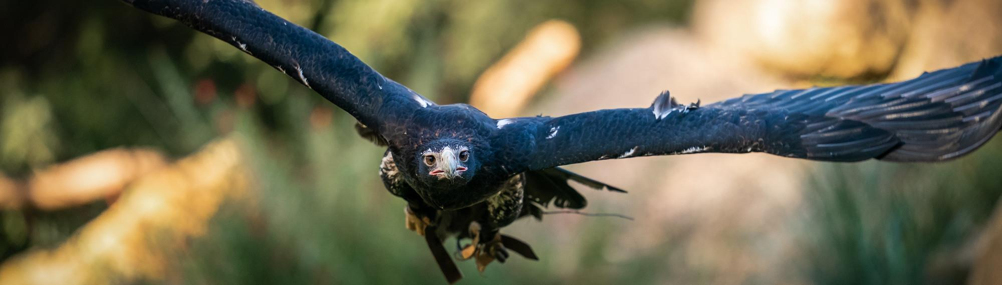 Wedge-tailed eagle flying directly towards camera with wings outstretched
