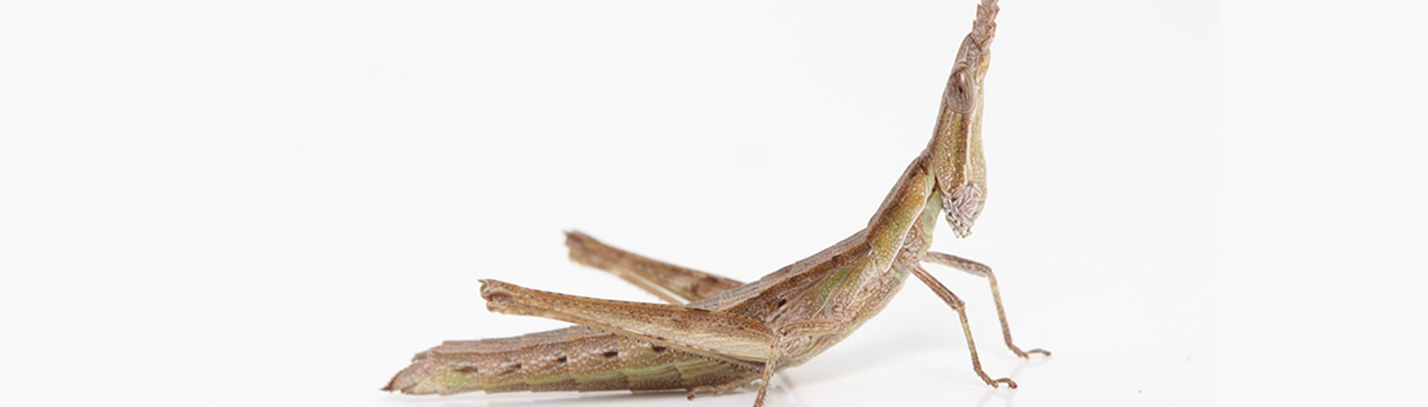 Key's Matchstick Grasshopper. Its brown with a pointed head.