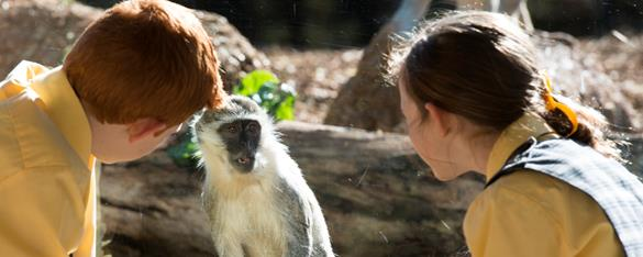 Two students in yellow uniforms come face to face with a vervet monkey.