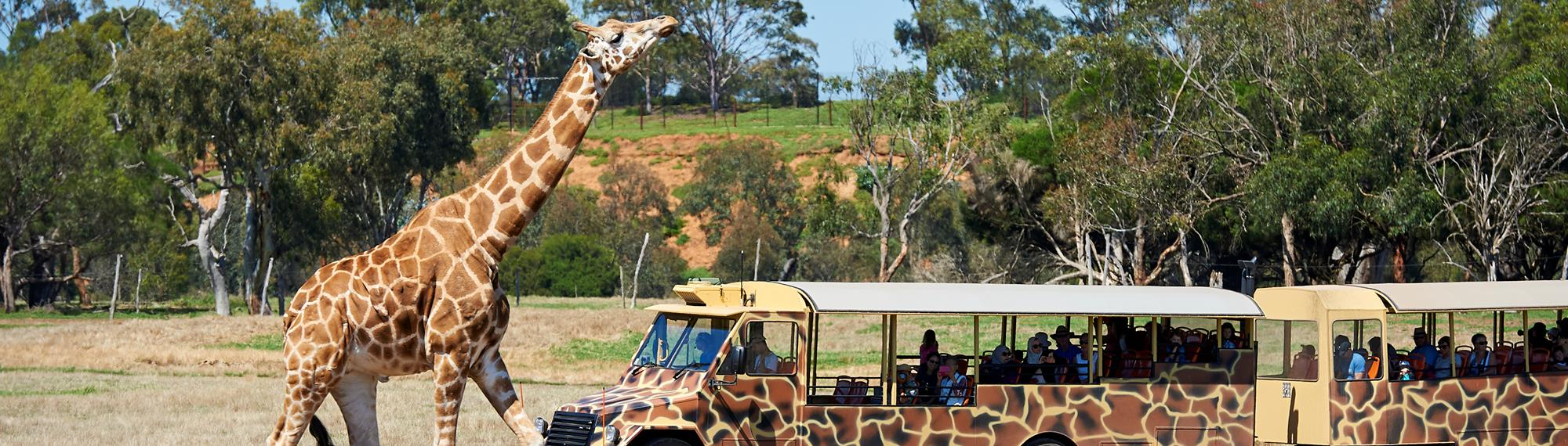 Giraffe walking next to a safari bus on the Savannah. Giraffe is looking up and visitors watch from the bus in the background.