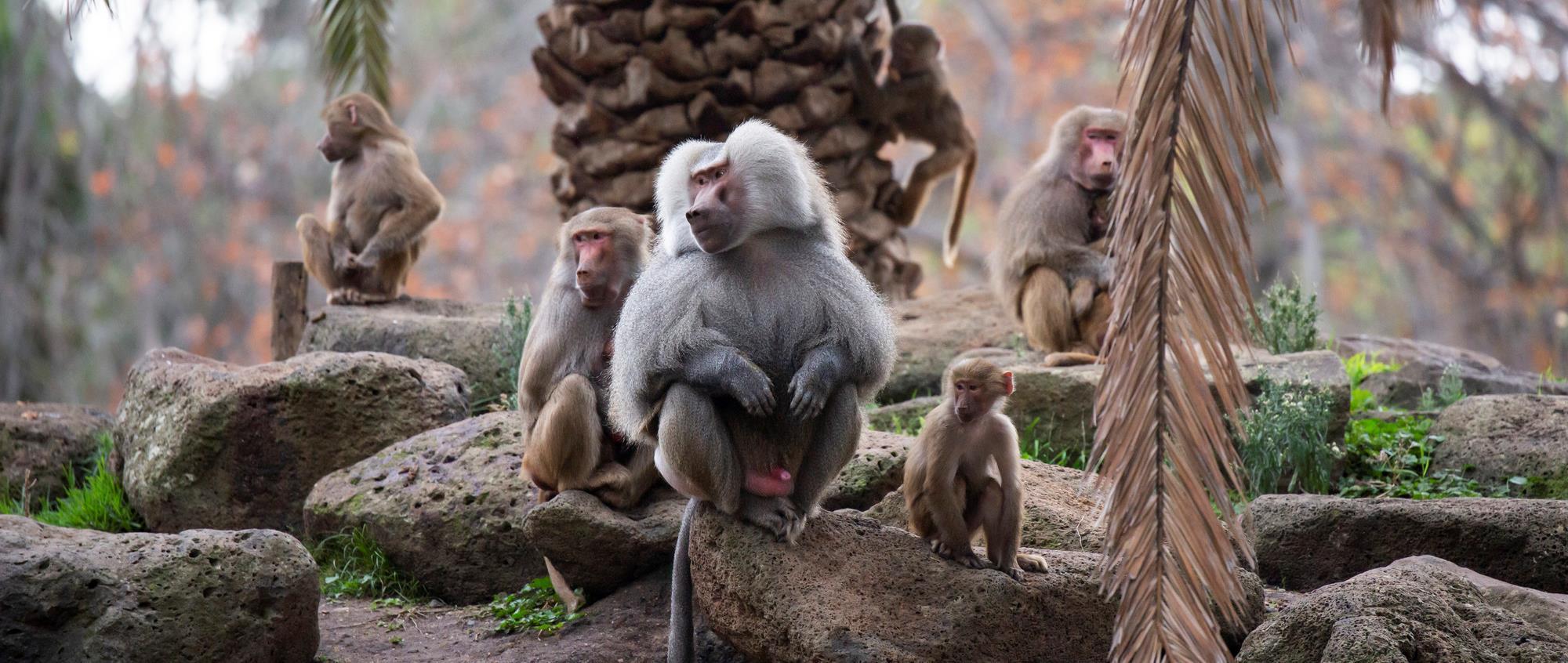 Baboon family on rocks