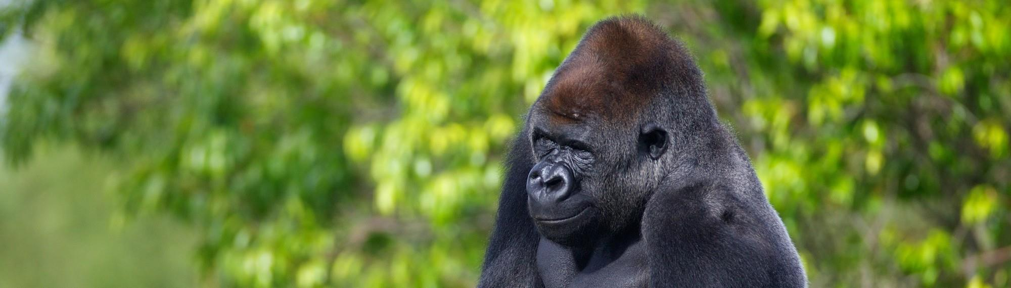 Western Lowland Gorilla Yakini head and shoulder profile of him sitting in front of green foliage looking left. He is black with a tan patch on his head and a silver back.