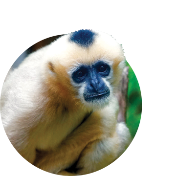 Close-up of female gibbon staring into camera