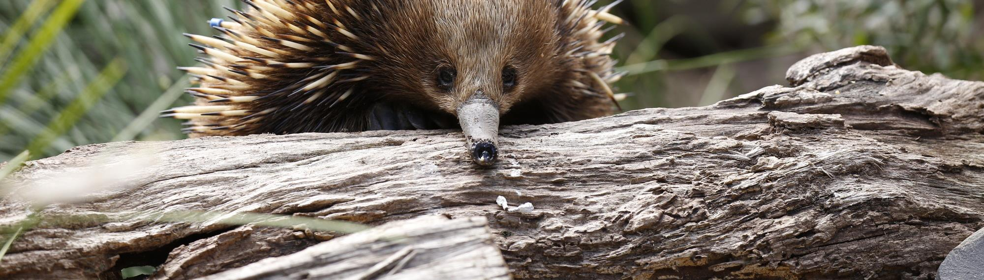 Short Beaked Echidna peaking over a log. Its beak is resting on the log and its looking towards the camera. Its brown with creamy colour spikes.