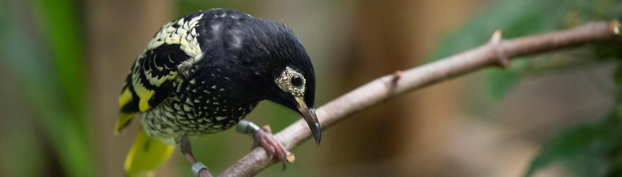 Regent Honeyeater bird on a branch looking down. It is mostly black with yellow speckles.