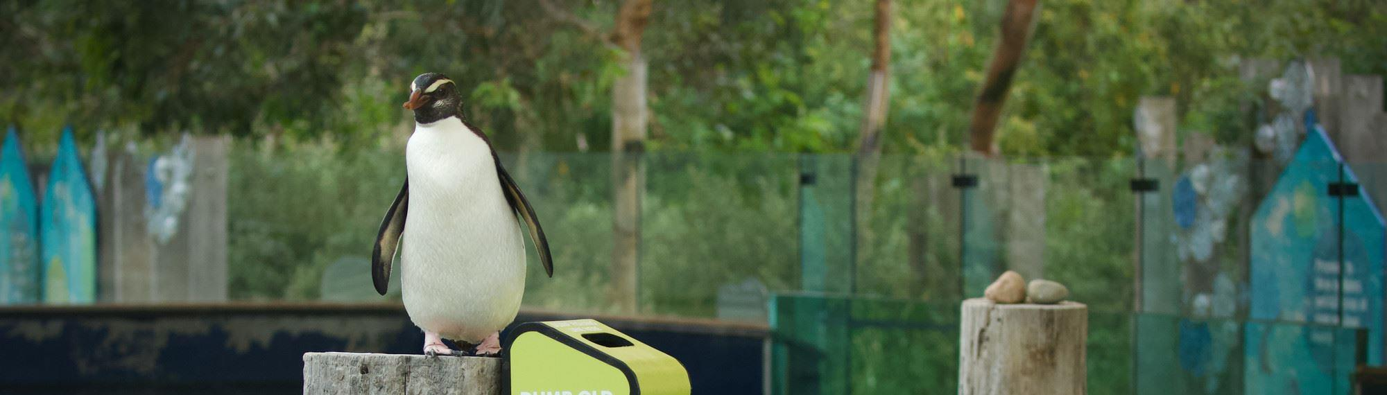 A Fiordland Penguin standing on a post next to a Seal the Loop bin at Melbourne Zoo.