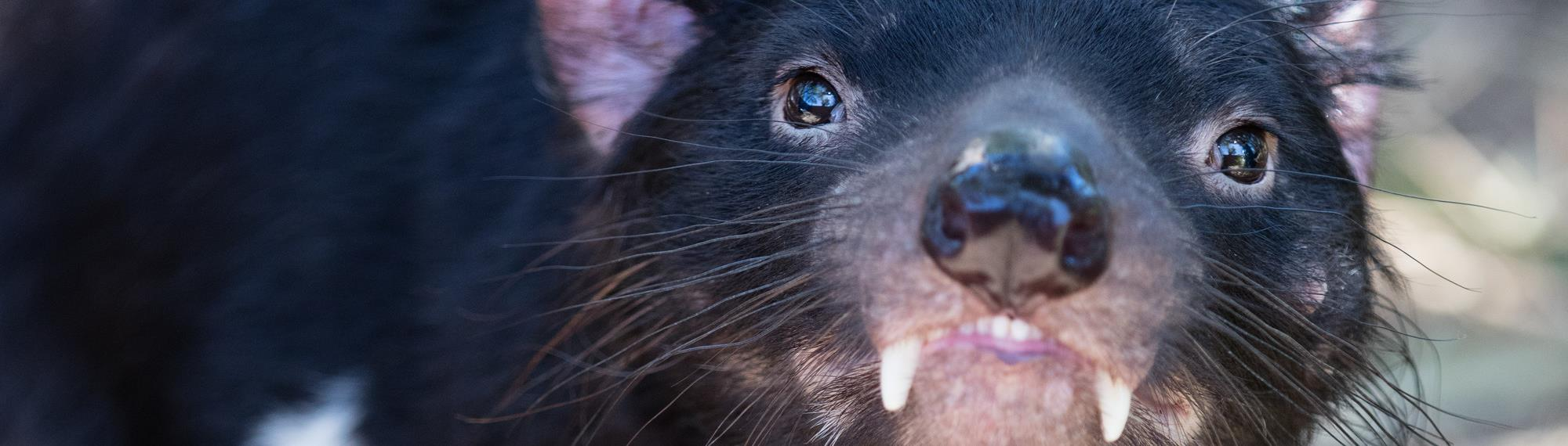 Tasmanian Devil close up profile picture. Excellent detail showing bright eyes and its teeth and two sharp fangs surrounded by long black whiskers.