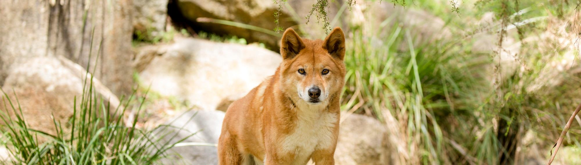 Dingo looking sternly at camera. He is a orange brown colour with ears up, standing on a log in a rocky grassed habitat.