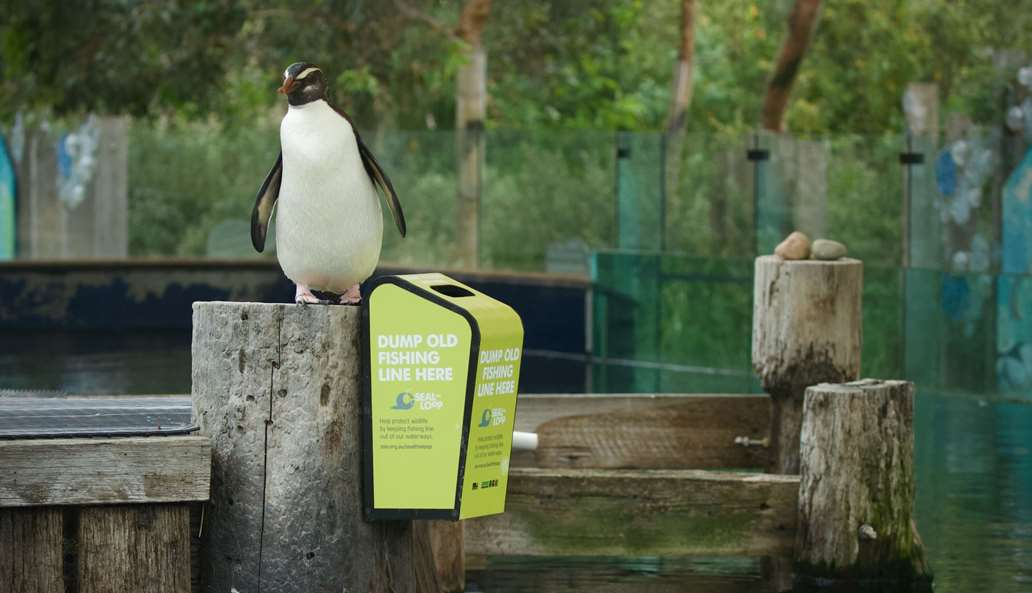 A Fiordland Penguin standing on a post next to a Seal the Loop bin at Melbourne Zoo