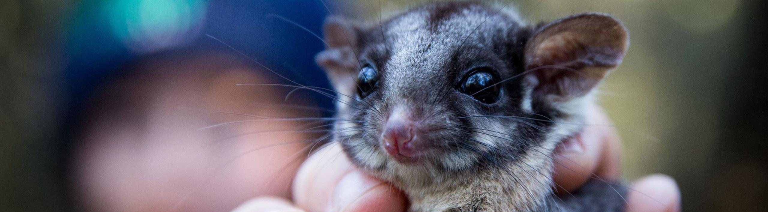 Leadbeater's Possum being held up to the camera.