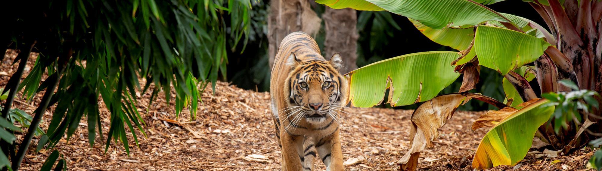 Tiger walking through bushes directly towards camera