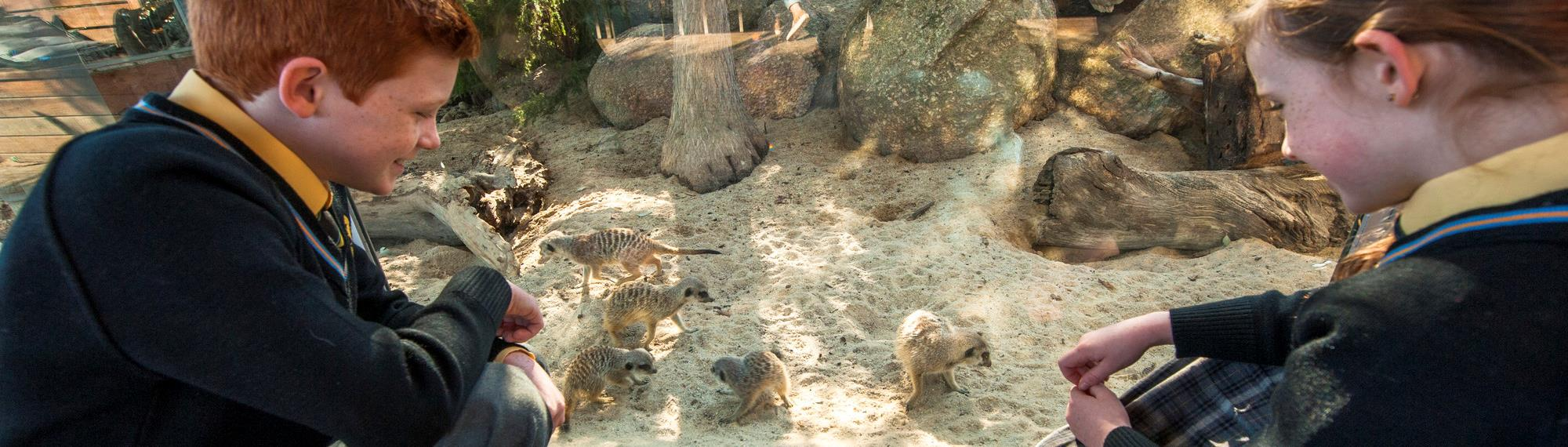 Two students watching five meerkats play in the sand in their enclosure.