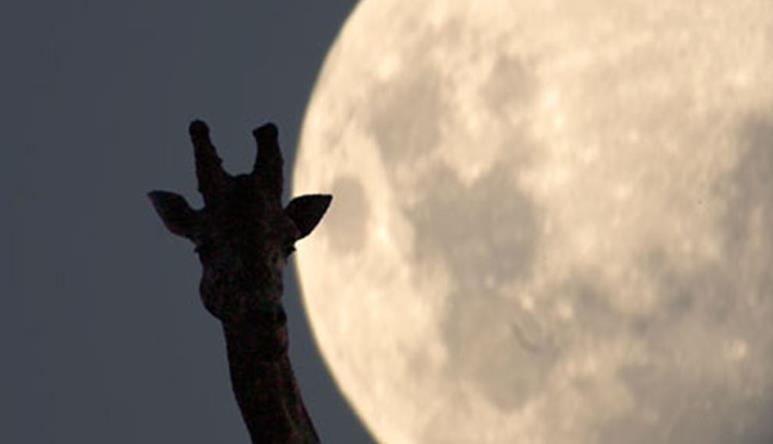 Giraffe silhouette against giant moon in night's sky