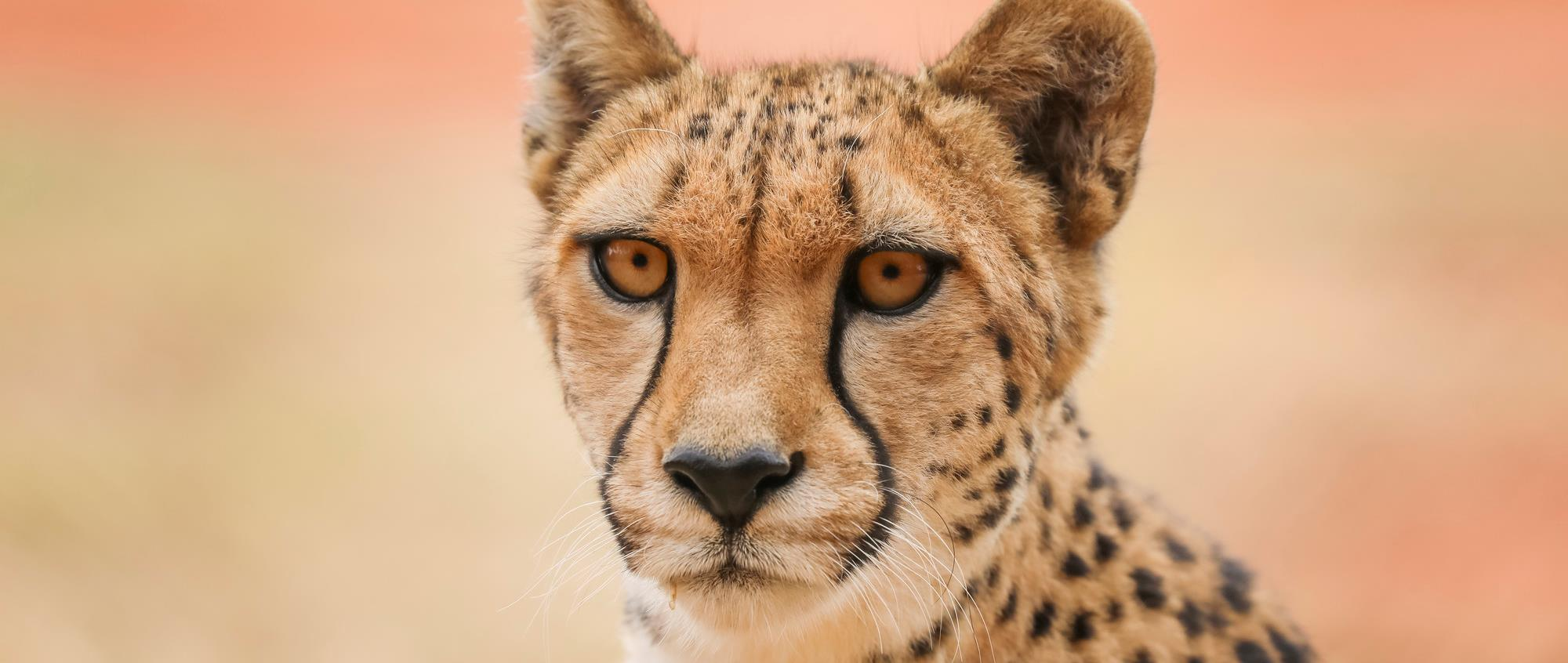 Cheetah Kulinda front of face profile. She is alert with her ears pricked forward and is looking intently just beyond the camera.