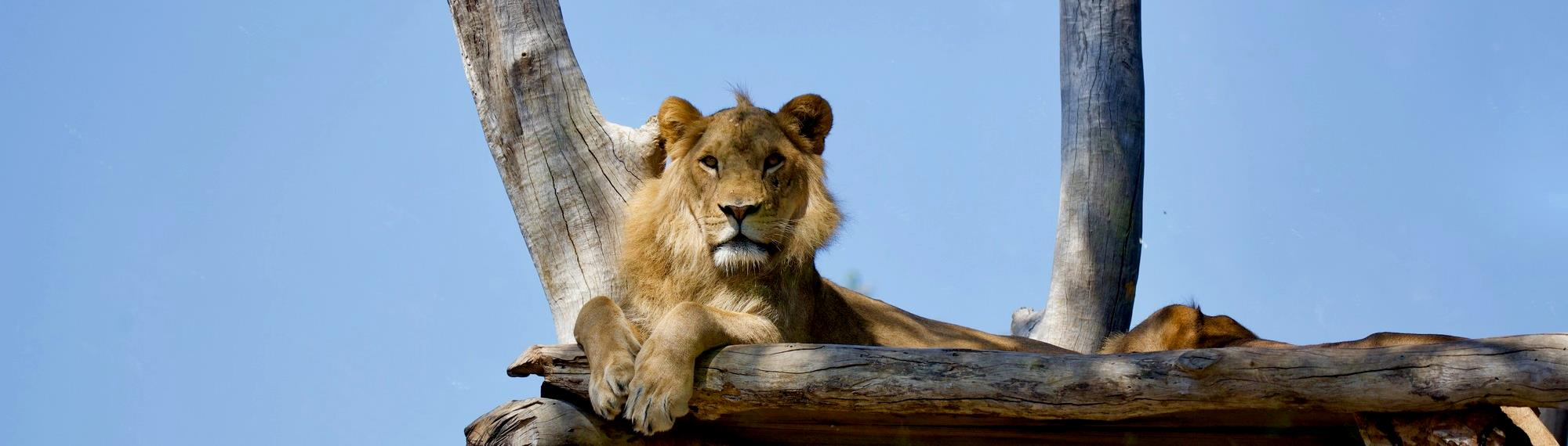 African Lion looking down while resting a wooden platform.
