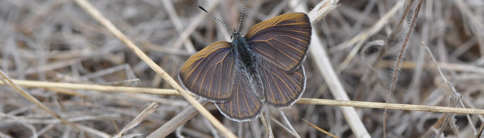 Golden Rayed Blue Butterfly resting with wings spread on dry grass. Its brown with faint iridescent blue suffusion and golden veins.