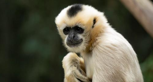 Female White Cheeked Gibbon looking towards camera.