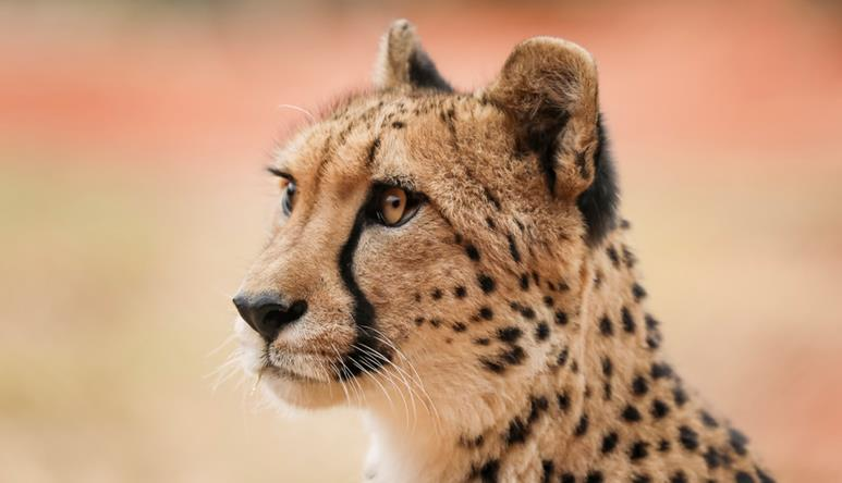 Up close side profile of Kulinda the cheetah. She is tan with solid black spots and a black nose. There is a black line that runs from the corner of her eye to under her chin.