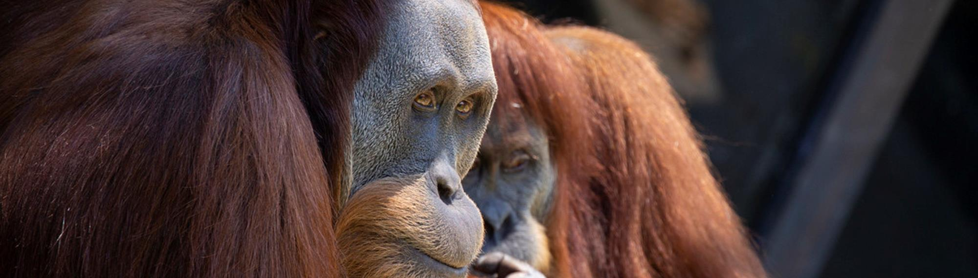 Two Orang Utans Looking Through Glass.