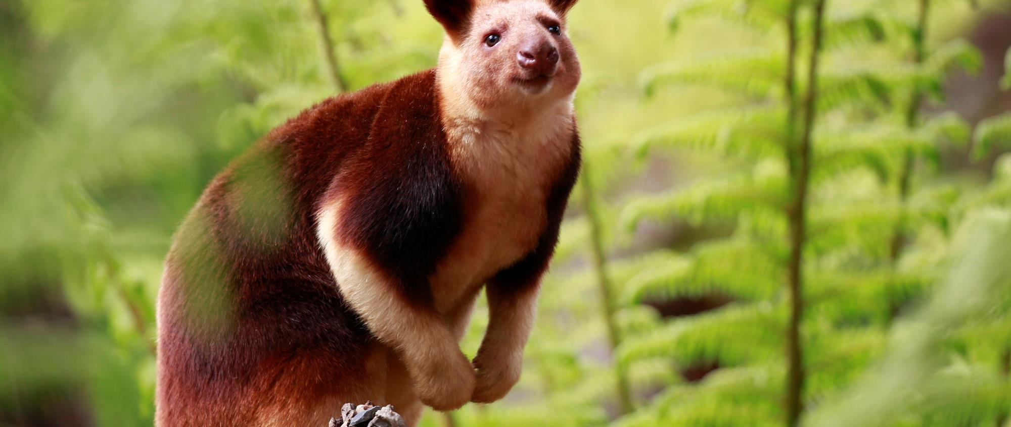 Tree kangaroo perching on a branch with blurred out green ferns in the background
